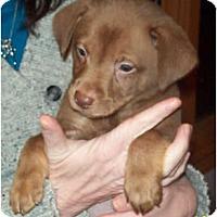 Adopt A Pet :: MR. SNUGGLES - Southport, NC