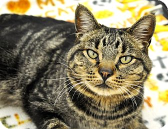 Domestic Shorthair Cat for adoption in Great Falls, Montana - Klaus
