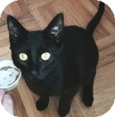 Domestic Shorthair Kitten for adoption in Vancouver, British Columbia - Sparta