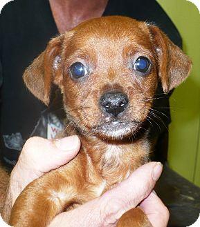 Dachshund/Labrador Retriever Mix Puppy for adoption in Eastpoint, Florida - Morton