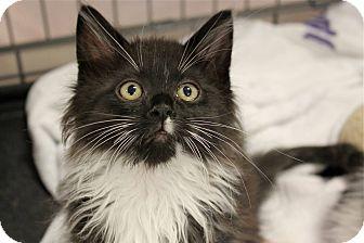 Domestic Longhair Kitten for adoption in Lombard, Illinois - Chifferi
