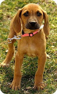 Labrador Retriever/Redbone Coonhound Mix Puppy for adoption in Harrisonburg, Virginia - Annabelle