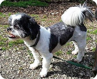 Shih Tzu Dog for adoption in Newnan, Georgia - Pedro