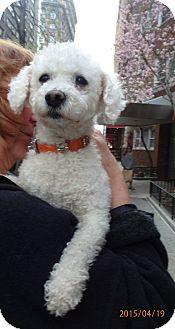 Poodle (Miniature)/Bichon Frise Mix Dog for adoption in Long Beach, New York - Suzie