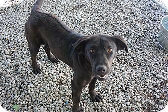 Labrador Retriever Mix Dog for adoption in Henderson, North Carolina - Princess