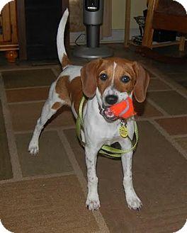 Beagle/Terrier (Unknown Type, Medium) Mix Dog for adoption in Hagerstown, Maryland - Merri