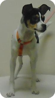 Fox Terrier (Toy) Mix Puppy for adoption in Gary, Indiana - Lance