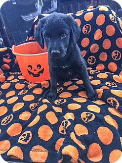 Labrador Retriever Mix Puppy for adoption in Von Ormy, Texas - Tockie