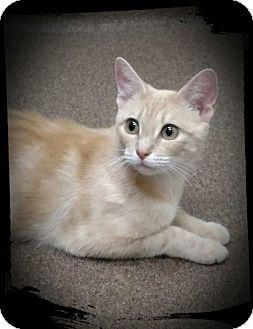 Domestic Shorthair Kitten for adoption in Richmond, Virginia - Brie