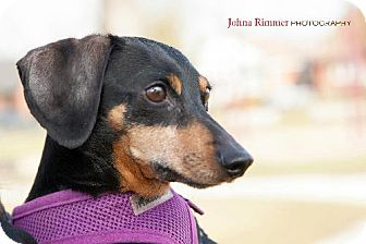 Dachshund Dog for adoption in Toronto, Ontario - Sara