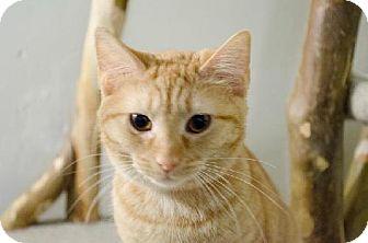 Domestic Shorthair Cat for adoption in Columbus, Ohio - Betsy Sue