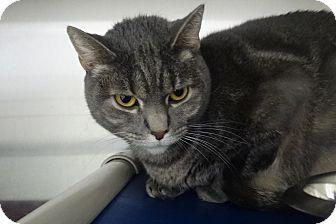 Domestic Shorthair Cat for adoption in Elyria, Ohio - Athena