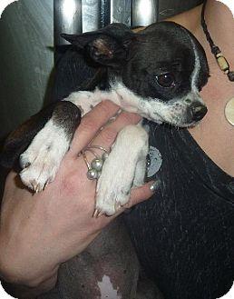 Boston Terrier/Chihuahua Mix Dog for adoption in Phoenix, Arizona - Bubbles