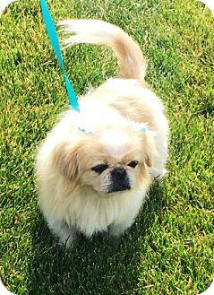 Pekingese Dog for adoption in Oswego, Illinois - I'M ADOPTEDTulip Morgan