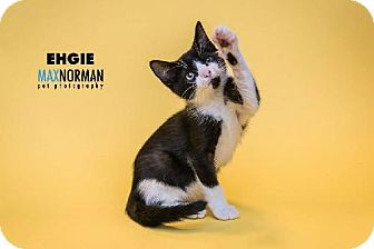 Domestic Shorthair Kitten for adoption in Tallahassee, Florida - Ehgie