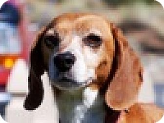 Beagle Mix Dog for adoption in Portola, California - Max