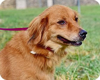 Golden Retriever Mix Dog for adoption in New Canaan, Connecticut - Dixie