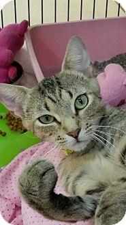 Domestic Shorthair Cat for adoption in Alpharetta, Georgia - Lily