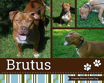 American Pit Bull Terrier/Bulldog Mix Dog for adoption in Channahon, Illinois - Brutus