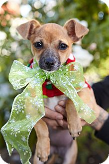 Chihuahua/Pug Mix Puppy for adoption in Redondo Beach, California - Joy-ADOPT Me!