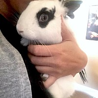 Dwarf Hotot Mix for adoption in Los Angeles, California - Patate