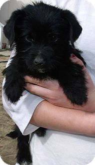 Schnauzer (Miniature)/Terrier (Unknown Type, Small) Mix Puppy for adoption in Corona, California - DOODLE