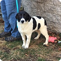 Adopt A Pet :: Maryanne is in Rhode Island! - Brattleboro, VT