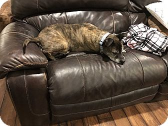 Boxer/Pit Bull Terrier Mix Dog for adoption in Manhattan, Illinois - Dixie