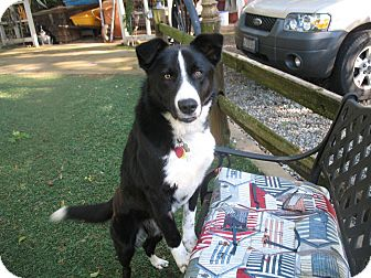Border Collie Mix Dog for adoption in Corning, California - HUEY