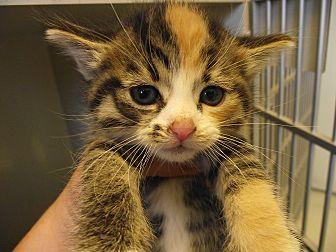 Domestic Shorthair Kitten for adoption in Delta, Colorado - Kittens