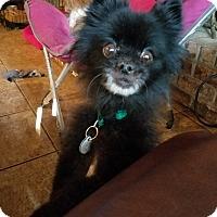 Adopt A Pet :: Sugar Plum - conroe, TX