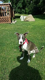 Pit Bull Terrier/Hound (Unknown Type) Mix Dog for adoption in Garden City, Michigan - Skylar aka Lucy