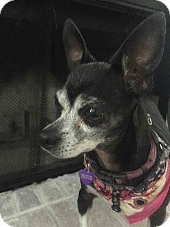 Chihuahua Mix Dog for adoption in Ft. Lauderdale, Florida - Prince