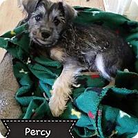 Adopt A Pet :: Percy - Snyder, TX