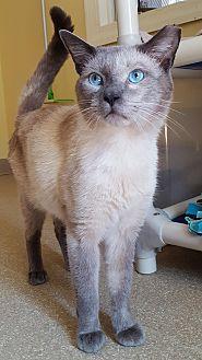 Siamese Cat for adoption in Salisbury, Massachusetts - Balboa