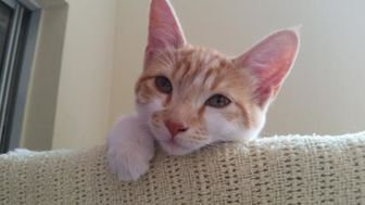 Domestic Shorthair/Domestic Shorthair Mix Cat for adoption in Mountain Center, California - Lilo