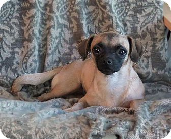 Pug/Chihuahua Mix Dog for adoption in Hagerstown, Maryland - Lil Bit
