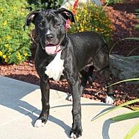 Adopt A Pet :: Checkers - Marietta, OH