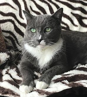 Domestic Shorthair Cat for adoption in Oxnard, California - Vincent