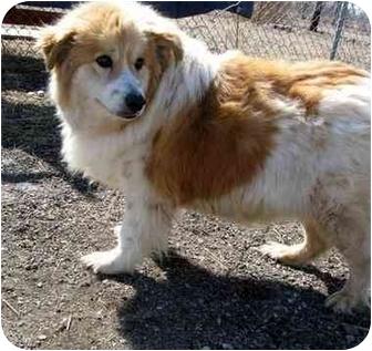 Sheltie, Shetland Sheepdog/Australian Shepherd Mix Dog for adoption in Wamego, Kansas - Baxter