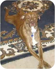 Weimaraner Mix Dog for adoption in Scottsdale, Arizona - Hunk (Flagstaff)