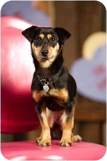 Miniature Pinscher/Dachshund Mix Dog for adoption in Portland, Oregon - Rosa