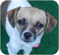 Chihuahua/Pug Mix Puppy for adoption in San Marcos, California - Daisy