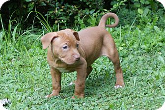American Pit Bull Terrier Mix Puppy for adoption in Dayton, Ohio - Wren