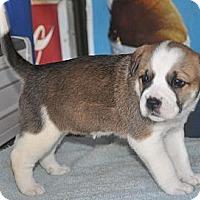 Adopt A Pet :: Kristen - Albany, NY