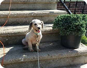 Poodle (Miniature) Mix Dog for adoption in New Oxford, Pennsylvania - Heaven