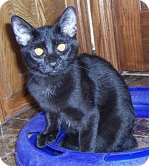 Domestic Shorthair Kitten for adoption in Oklahoma City, Oklahoma - KIng