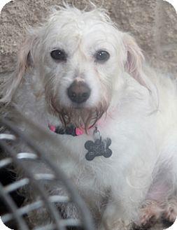 Westie, West Highland White Terrier/Schnauzer (Miniature) Mix Dog for adoption in Allentown, Pennsylvania - Mirabelle