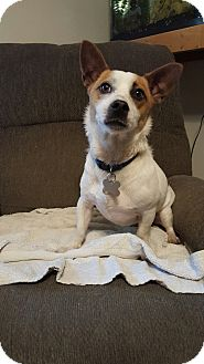 Jack Russell Terrier Dog for adoption in Hampton, Virginia - JEFF