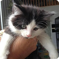 Adopt A Pet :: Muffin - Hamilton, ON